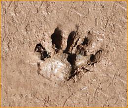 Animal Track Identification Learning Animal Tracks