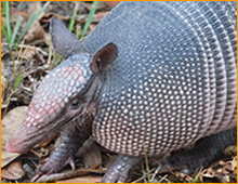 Fernandina Beach armadillo trapping