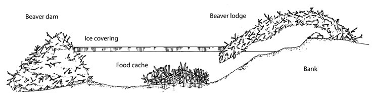 beaver trapping, controling beavers with traps Learning About Beavers beavers eating my trees