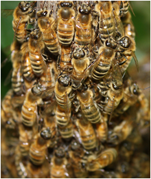 Long Beach Bee Removal & Control CA, Africa Honey Bees