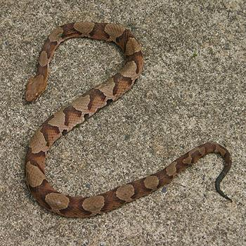 Copperhead Snake in House, Copperhead Snake Removal