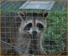 Animal Control Solutions Nuisance Wildlife Control Pest