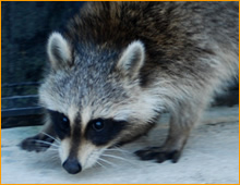 raccoons in attic Toms River