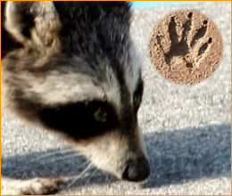 Skunk and Raccoon Footprints http://www.animalcontrolsolutions.com/animals/raccoon-tracks.html