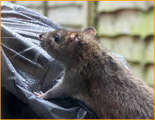 dania beach rat removal