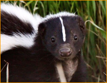 skunk in crawlspace
