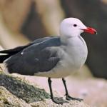 Heermanns Gull Control