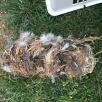 Entire Bird nest in vent
