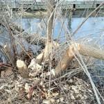 beaver cut trees
