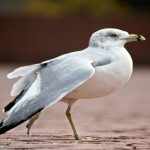 Ring-billed gull control