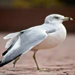 Ring-billed gull control