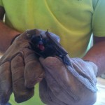 Bat removal photos