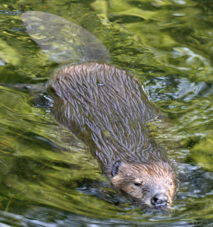 Beavers Swimming in Water