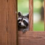 Raccoon Gallery
