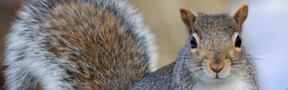squirrel-header