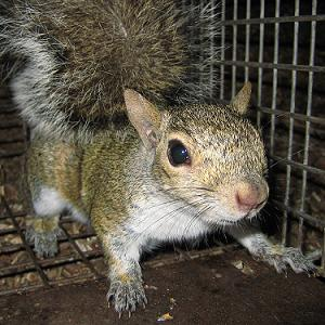 Squirrel in Cage