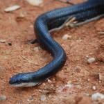 Black rat snake in house