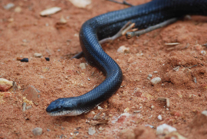 Black Racer Snake Removal & Control