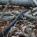black rat snake in woods