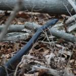 black rat snake in woods