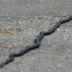 Large black snake in road