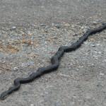 Large black snake in road
