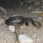 Garter Snake in Driveway