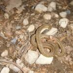 Garter Snake in Yard