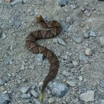 baby copperhead removal
