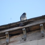 Birds roosting on house