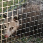 Possum 057
