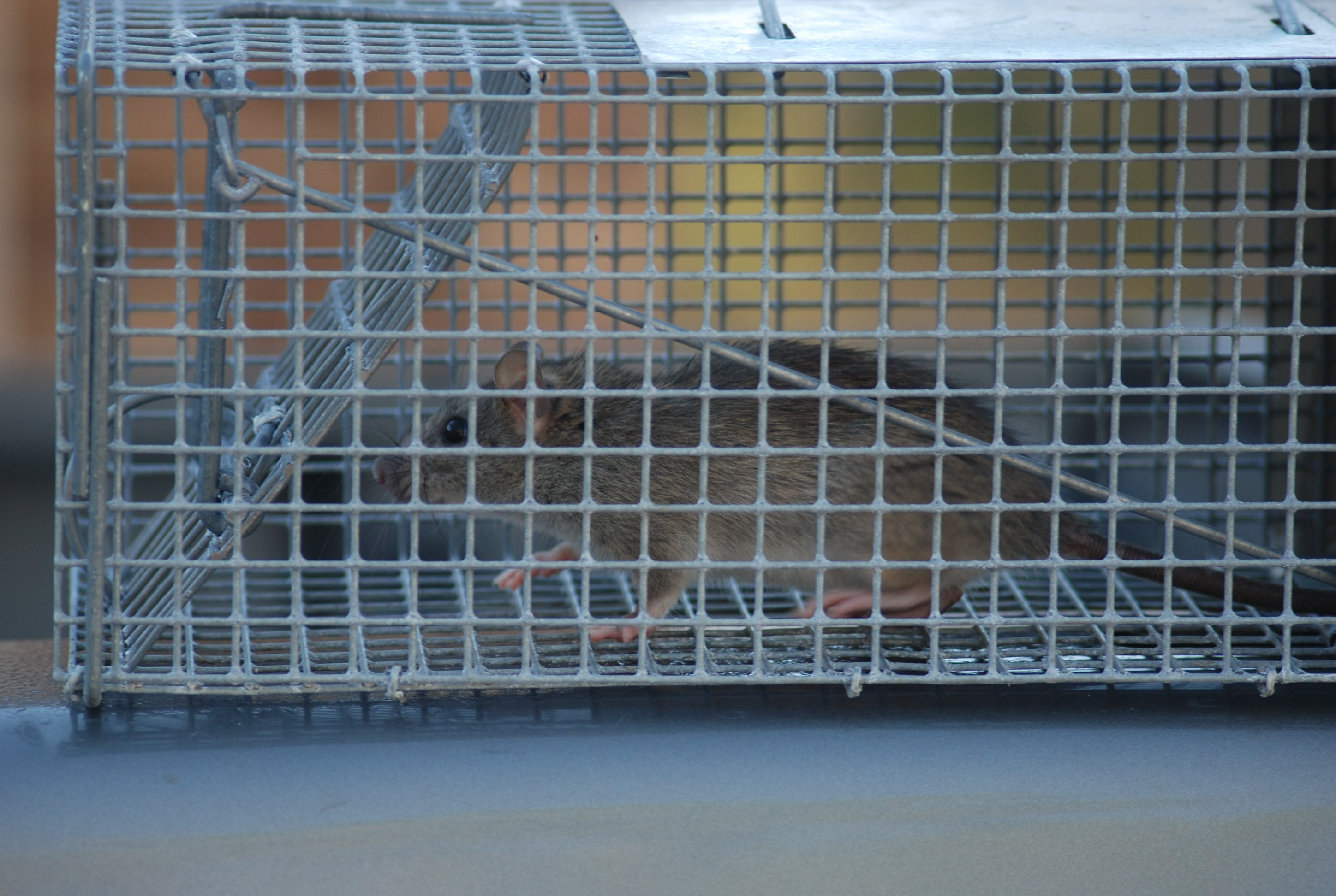 Dead rats in wall of house pest control companies will often use poison because it is very simple to do even the worst pest control companies will have access to rat poison biocorpaavc Image collections