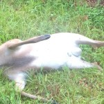 Dead deer removal is a service that picks up dead deer from property and homes in many areas of the United States.