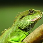 Lizard and Iguana Removal