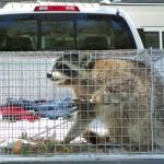 captured raccoon