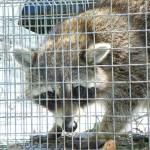 mad raccoon