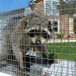 upset raccoon in cage