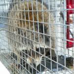 atic raccoon