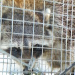 raccoon from attic