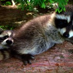 two baby racoons
