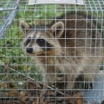 nice trapped raccoon