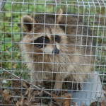 small trapped raccoon