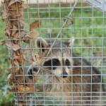 small raccoon in trap