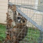 more leaf covered raccoon