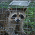 Male Raccoon Trapped