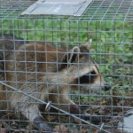 Male Raccoon trapped 2