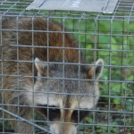 Trapped Male Raccoon