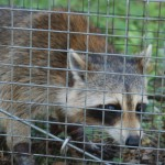 Trapped male Raccoon 2
