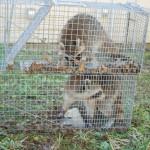 Raccoon trap double