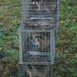 cage trapped coon